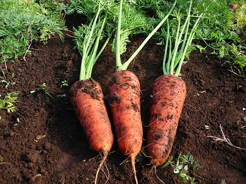 How to Select or Choose the Best Carrots and Other Vegetables