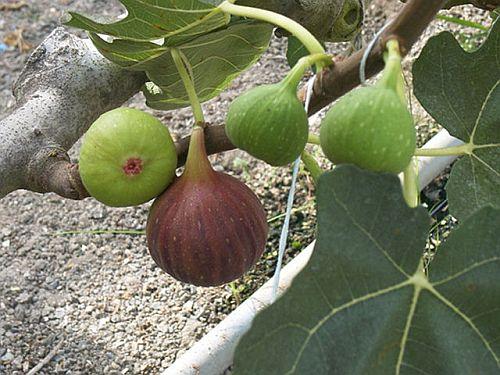 Fig Tree – Powerful Herbal Solution