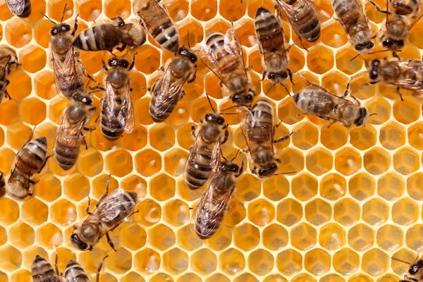 Mysterious Disappearance of Honeybees Revealed